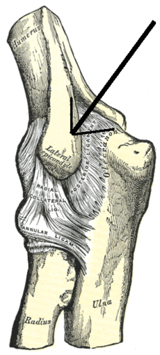 Left elbow-joint, showing posterior and radial collateral ligaments.  (Lateral epicondyle visible at center.)